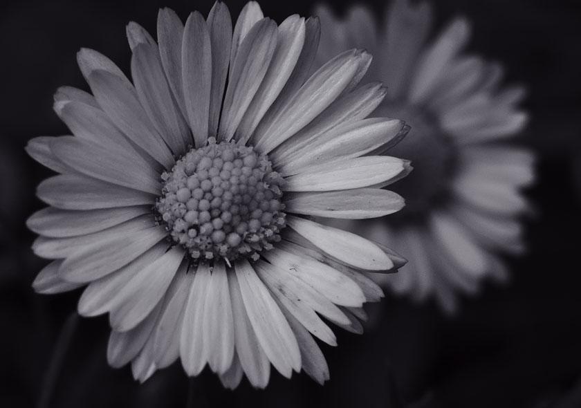Daisy Cutters