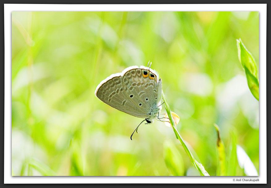 Gram Blue (Euchrysops cnejus)
