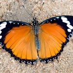 Danaid Eggfly Female